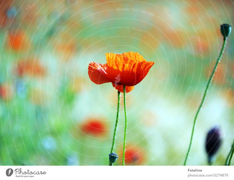 poppy day Environment Nature Landscape Plant Summer Beautiful weather Flower Blossom Meadow Field Bright Near Natural Warmth Green Red Poppy blossom Poppy field