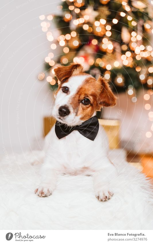 cute jack russell dog at home by the christmas tree, dog wearing a bow tie Bow tie adoption Dog Christmas & Advent indoor Pet Jack Russell terrier Cute Home