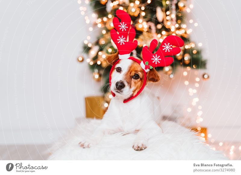 cute jack russell dog at home by the christmas tree, dog wearing a red santa diadem adoption Dog Christmas & Advent indoor Pet Jack Russell terrier Cute Home