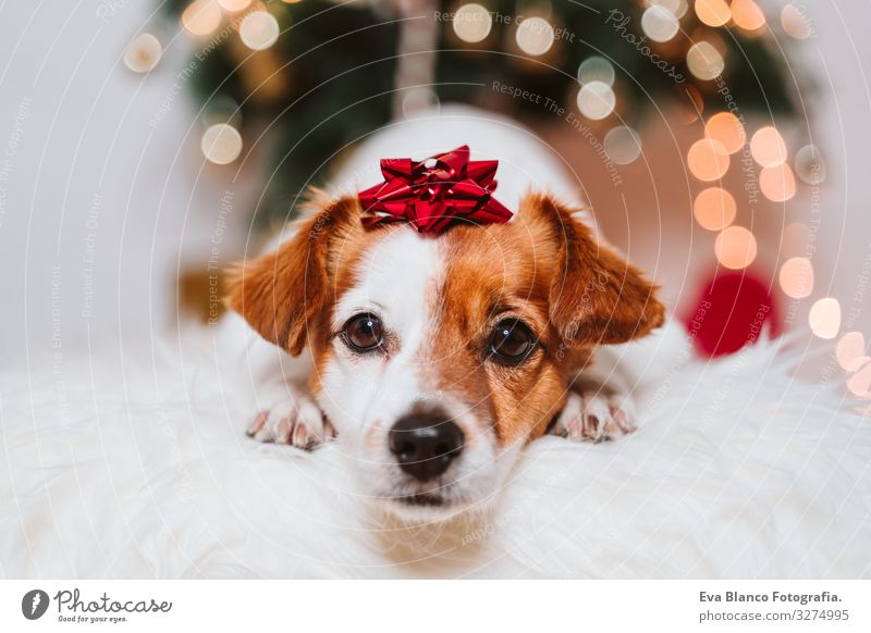 cute jack russell dog at home by the christmas tree Dog Christmas & Advent indoor Pet Jack Russell terrier Cute Home Studio shot Red Santa Claus Gift Beautiful