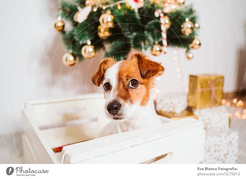 cute jack russell dog into a box at home by the christmas tree Box adoption Dog Christmas & Advent indoor Pet Jack Russell terrier Cute Home Studio shot Red