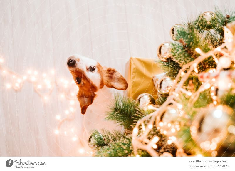 cute jack russell dog at home by the christmas tree adoption Dog Christmas & Advent indoor Pet Jack Russell terrier Cute Home Studio shot Red Santa Claus Gift