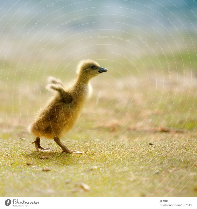 Blue Beautiful Green Animal Yellow Baby animal Life Meadow Freedom Brown Bird Flying Walking Cute Soft