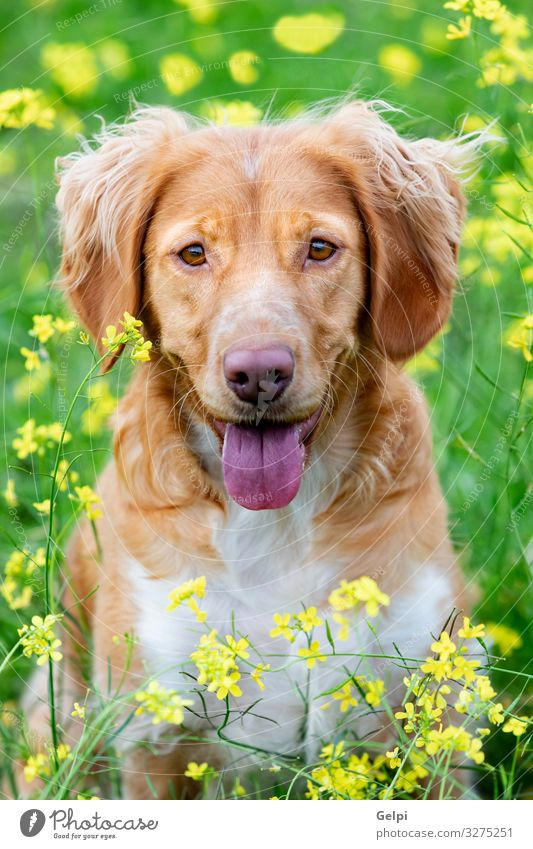 Beautiful brown breton dog in a meadow Dog White Flower Animal Joy Yellow Meadow Grass Brown Large Photography Friendliness Pure Pet Mammal Breed