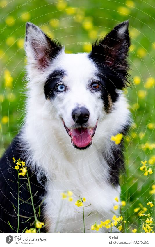 Beautiful black and white Border Collie dog Dog Blue White Flower Animal Joy Black Yellow Meadow Grass Brown Large Photography Friendliness Pure Pet
