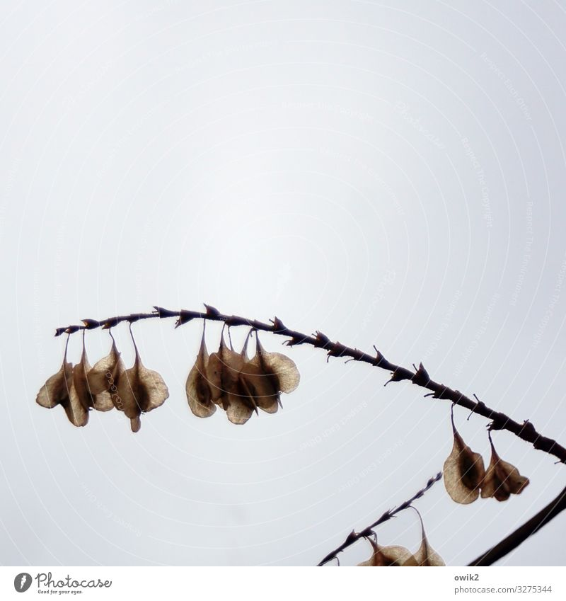 Ecological jewellery Nature Plant Clouds Autumn Twig Seed Spore Spore capsule Hang Small Near Dry Many Patient Calm Colour photo Subdued colour Exterior shot