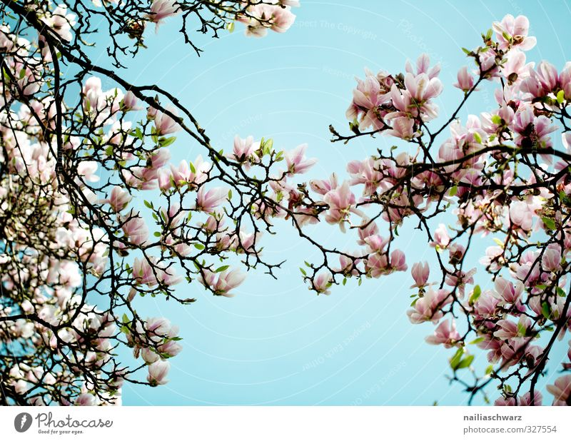 magnolia Nature Plant Sky Spring Summer Beautiful weather Tree Flower Leaf Blossom Foliage plant Agricultural crop Magnolia plants Branch Twigs and branches