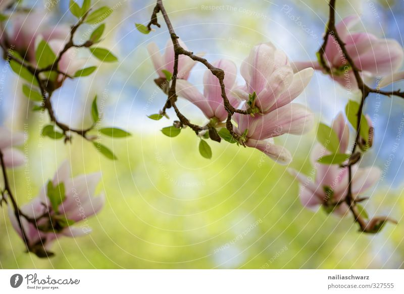 magnolia Nature Plant Spring Summer Beautiful weather Tree Flower Leaf Blossom Magnolia plants Branch Garden Park Blossoming Fragrance Growth Happiness Fresh