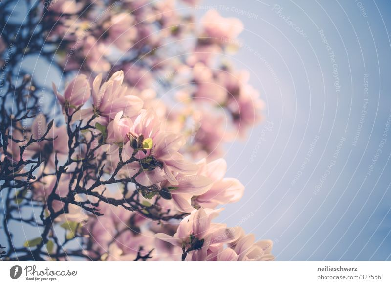 magnolia Environment Nature Plant Sky Spring Summer Tree Flower Blossom Foliage plant Agricultural crop Magnolia tree Magnolia blossom Garden Park Blossoming