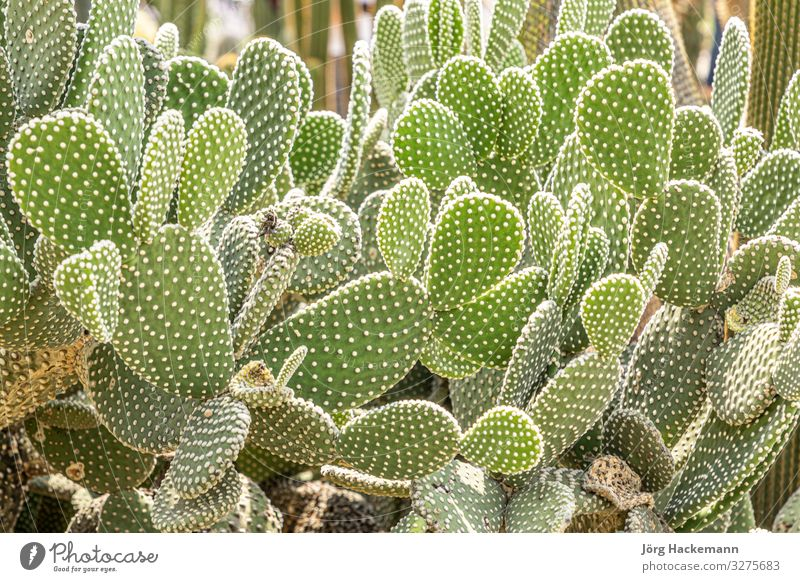 cactus growing in the garden Fruit Beautiful Summer Garden Nature Landscape Plant Flower Cactus Leaf Castle Natural Thorny Green White Mexico background
