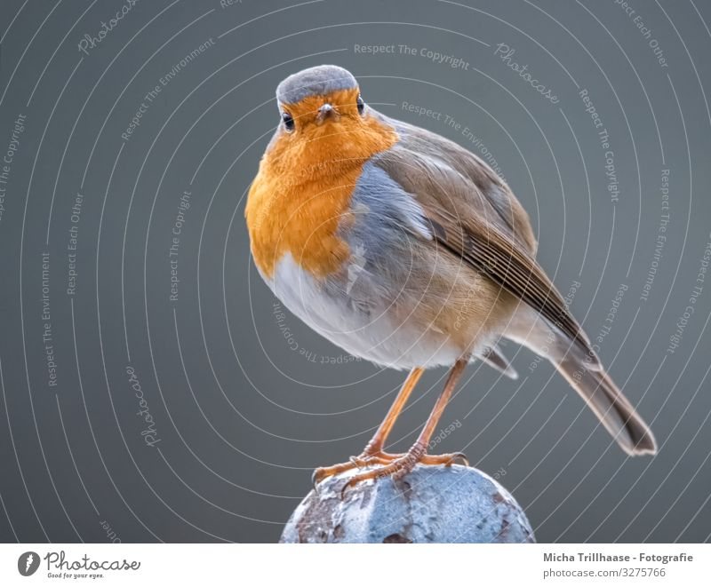 In the eye of the robin Nature Animal Sun Sunlight Beautiful weather Wild animal Bird Animal face Wing Claw Robin redbreast Feather Head Eyes Beak Legs Plumed 1