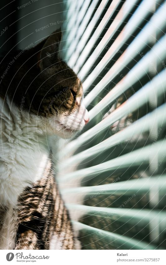 Cat looks outside through half closed blinds Window Observe Pet window light Venetian blinds Strip of light look at mackerelled watch White Drape windowsill