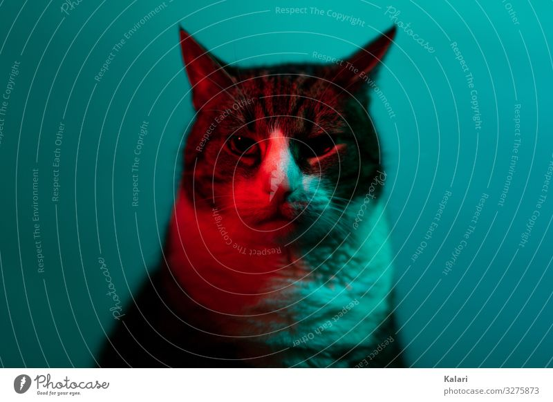 Cat in neon light looks into the camera Scene look at Art Red portrait experimental Dark Animal studio Pet pretty Indigenous Pelt Eyes tabby cat black Gray