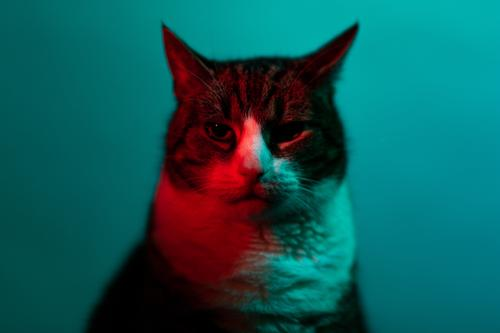 Cat in neon light looks into the camera Scene look at Art Red portrait experimental Dark Animal studio Pet pretty Indigenous Pelt Eyes tabby cat black Gray