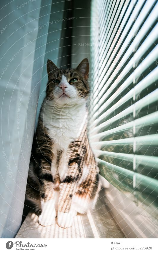 Cat sitting proudly on windowsill Drape Observe Pet Pride mackerelled Window look at watch White window light Venetian blinds Animal Bright Light pretty kitten