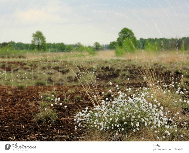 Helgiland | Spring in the Moor Environment Nature Landscape Plant Sky Beautiful weather Tree Grass Blossom Wild plant Clouds Bog Marsh Blossoming Growth