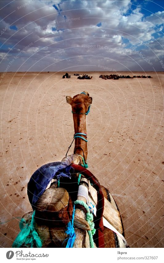camel in desert Lifestyle Vacation & Travel Tourism Trip Adventure Freedom Summer Summer vacation Sun Nature Landscape Animal Sand Sky Cloudless sky Clouds