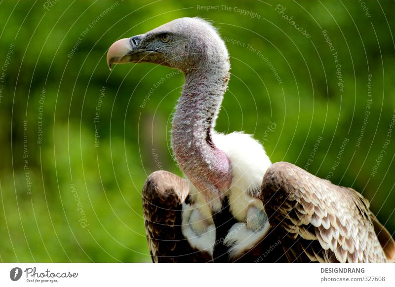 The vulture knows! Animal Wild animal Bird Wing 1 Observe Movement To fall Catch Flying Feeding Hunting Looking Aggression Esthetic Brown White Vulture Zoo