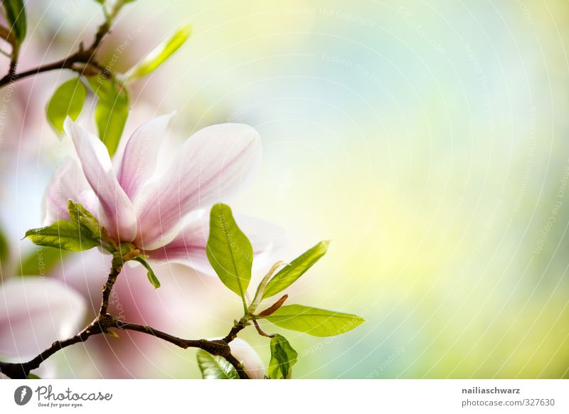magnolia Environment Nature Plant Spring Summer Tree Flower Leaf Blossom Magnolia plants Magnolia blossom Branch Twig Garden Park Blossoming Fragrance Growth