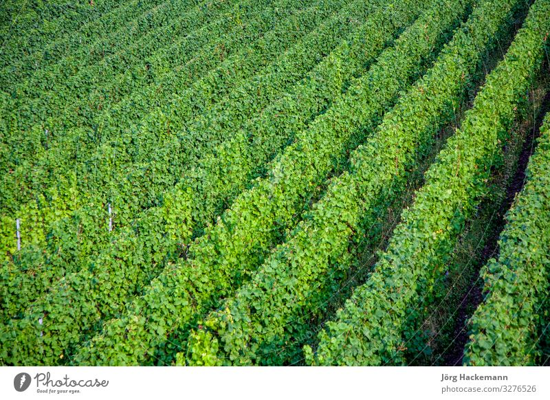 vineyards at the hills of the river Moselle Nature Growth Fresh Bunch of grapes moselle Mature Symbols and metaphors trittenheim Vineyard Colour photo Dawn