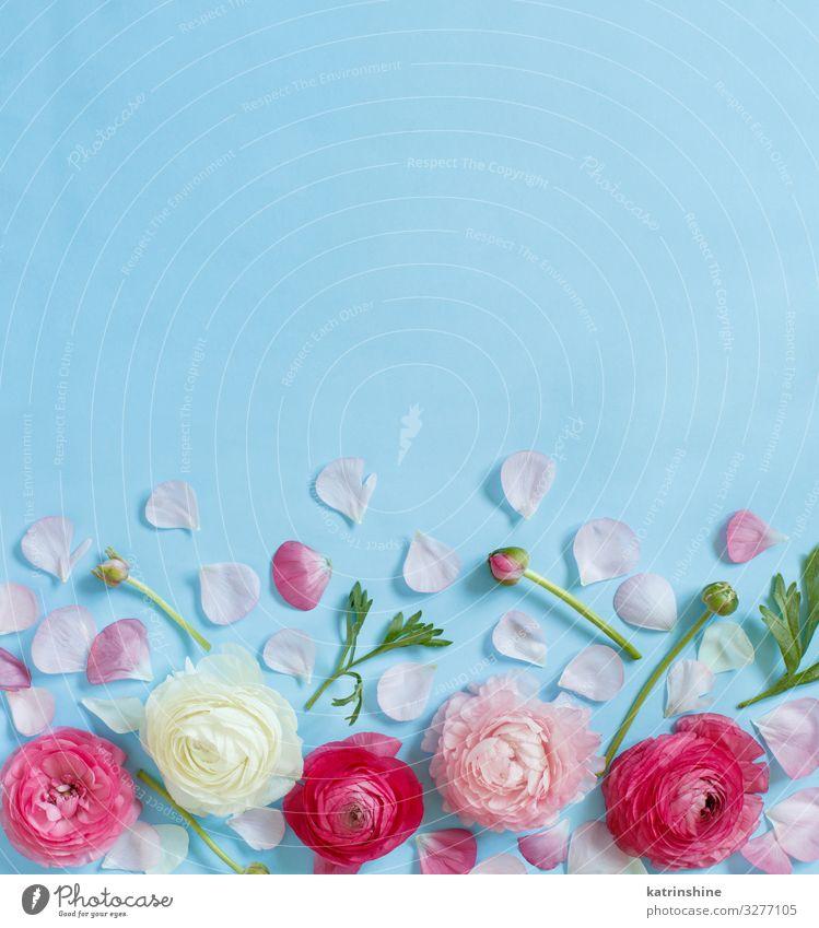 Pink flowers on a light blue background Design Decoration Wedding Woman Adults Mother Flower Rose Above Creativity romantic Light blue Copy Space ranunculus