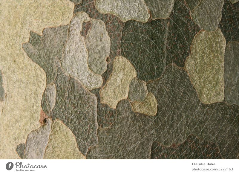 Bark of the plane tree Environment Plant Tree Sycamore Tree bark Wood Ornament Line Design Environmental protection camouflage Colour photo Subdued colour