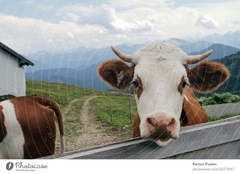 Nature Animal Mountain Environment Natural Hiking Alps Agriculture Organic produce Cow Meat Bavaria Austria Forestry Love of animals Mountain pasture