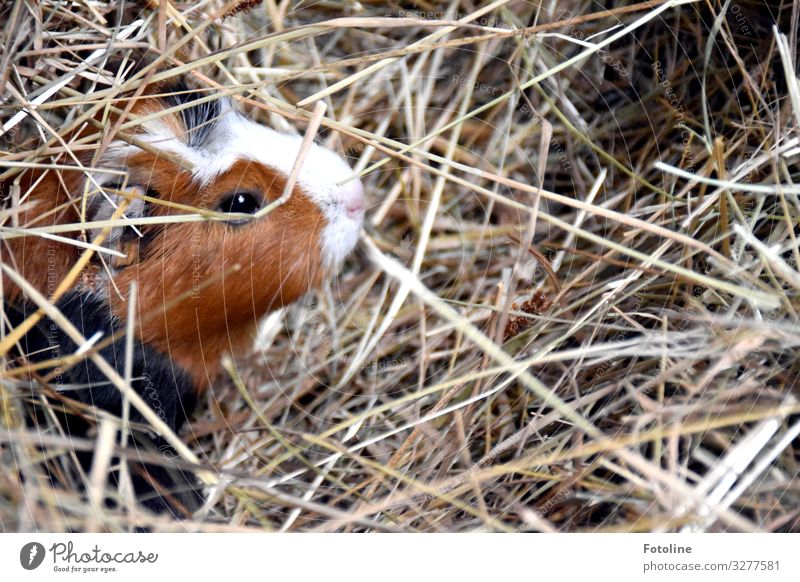 Guinea pig hiding place Environment Nature Animal Beautiful weather Pet Animal face Pelt 1 Bright Small Near Natural Warmth Brown Black White Mammal Eyes Straw