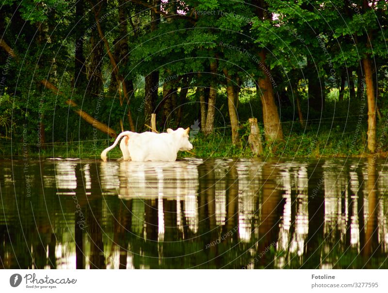 bathing day Environment Nature Landscape Plant Animal Elements Water Summer Beautiful weather Tree Grass Forest Farm animal Cow Pelt 1 Bright Wet Natural Brown