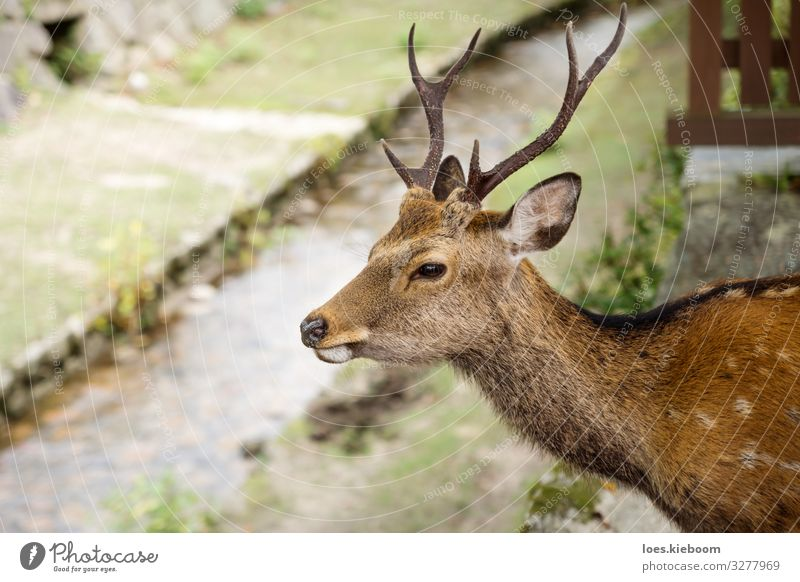 Deer with antler in front of river at Miyajima, Japan Tourism Far-off places Nature Park Meadow River Animal 1 Observe Vacation & Travel Elegant Exotic Power