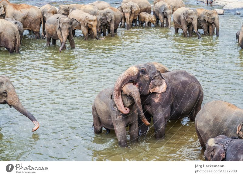elephants in the river in Pinnawella Joy Virgin forest River Love Embrace Maha Oya Orphanage Pinewalla Sri Lanka animals Asia asian pachyderm pinnavela