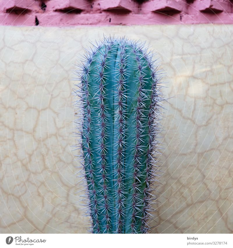 A big green cactus. Cactus Wall (barrier) Wall (building) Thorn Line Stand Esthetic Authentic Simple Exotic Firm Fresh Positive Thorny Yellow Green Pink Power