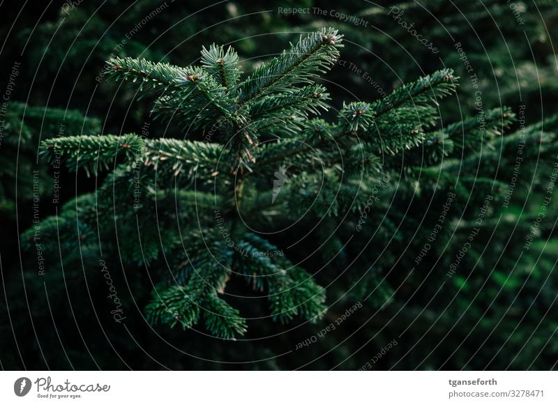 Fir II Environment Nature Animal Plant Tree Foliage plant Fir tree Fir branch Fir needle Beautiful Christmas & Advent Christmas tree Colour photo Exterior shot