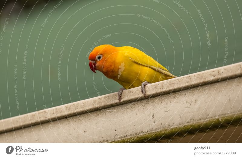 Yellow Parakeet II Animal Wild animal Bird Animal face Wing Claw Zoo 1 Observe Discover Looking Sit Exceptional Exotic Happiness Beautiful Natural Cute