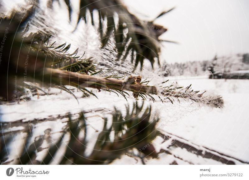 Christmas & Advent Plant Winter Feasts & Celebrations Net Christmas tree Creepy Packaged