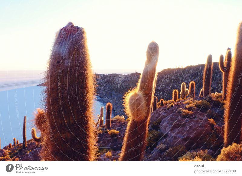 Cactus Island Vacation & Travel Tourism Far-off places Landscape Plant Salt flats Salt  lake Bolivia Salar de Uyuni Colour photo Exterior shot Morning Light