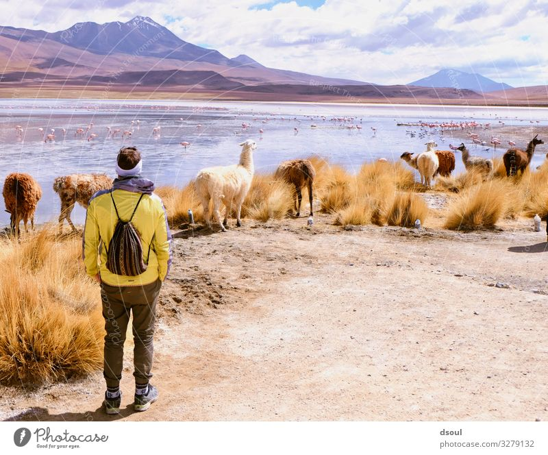 Bolivia Highlands Nature Landscape Plant Animal Bushes Mountain Herd Vacation & Travel Llama Lagoon Adventurer Colour photo Exterior shot Day
