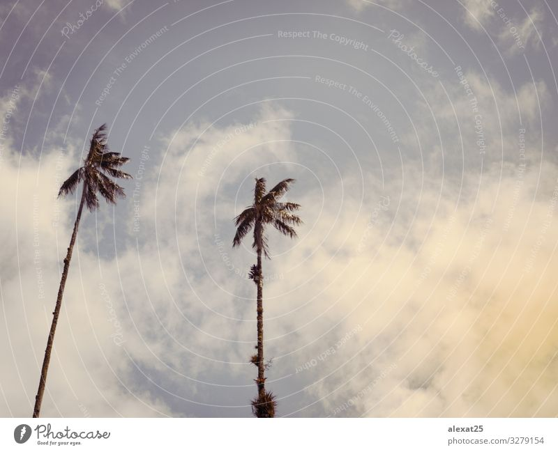 Palm trees background with copy space Exotic Beautiful Vacation & Travel Tourism Summer Sun Beach Ocean Island Nature Landscape Plant Sky Tree Blue caribbean