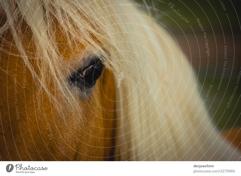 Look me in the eyes: a horse with long white hair looks with one eye at the viewer. Joy Harmonious Trip Bavaria Germany Deserted Horse 1 Animal Observe Discover