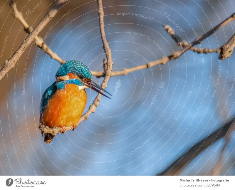 Kingfisher on a branch Nature Animal Sunlight Beautiful weather Tree Twigs and branches River bank Wild animal Bird Animal face Wing Claw Beak Eyes Feather