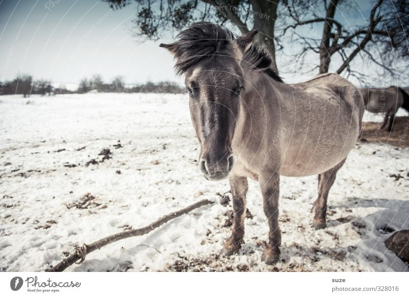 Kuhles Färt Winter Snow Environment Nature Landscape Animal Sky Horizon Wind Wild animal Horse Animal face 1 Herd Stand Authentic Cold Cute Blue White Curiosity
