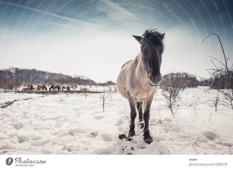 Sky Nature Blue White Animal Winter Environment Cold Snow Horizon Wild Wild animal Authentic Stand Cute Horse
