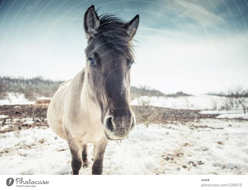 Blackhead Beautiful Winter Snow Environment Nature Animal Sky Wild animal Horse Animal face 1 Looking Stand Authentic Cold Cute Blue White Mane Horse's head