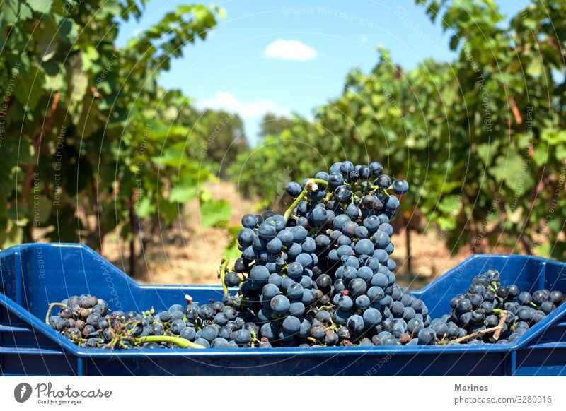 red wine grapes Fruit Diet Summer Nature Leaf Agricultural crop Fresh Natural Blue Green Red Colour Bunch of grapes Vineyard vine background agriculture Purple