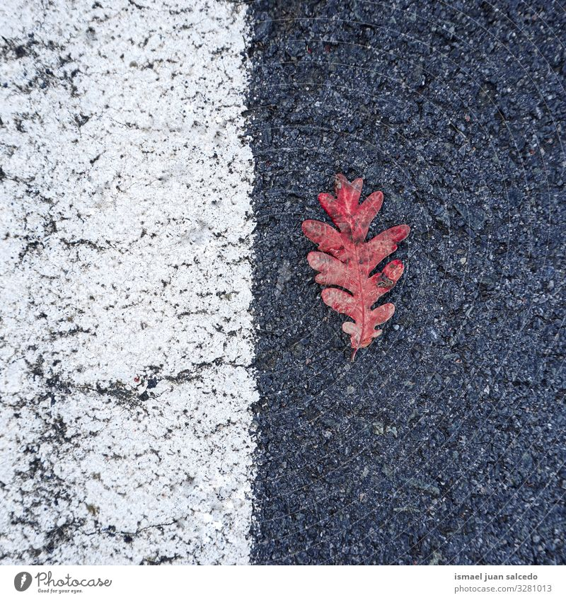 red leaf on the road on the street Leaf Red Loneliness Isolated (Position) Ground Nature Natural Exterior shot Background picture Consistency Fragile Autumn