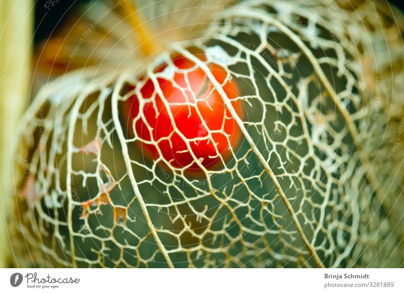 A weathered blossom of a lampion flower (Physalis) Elegant Design Exotic Beautiful Winter Decoration Nature Plant Autumn Weather Garden Old Blossoming Fragrance