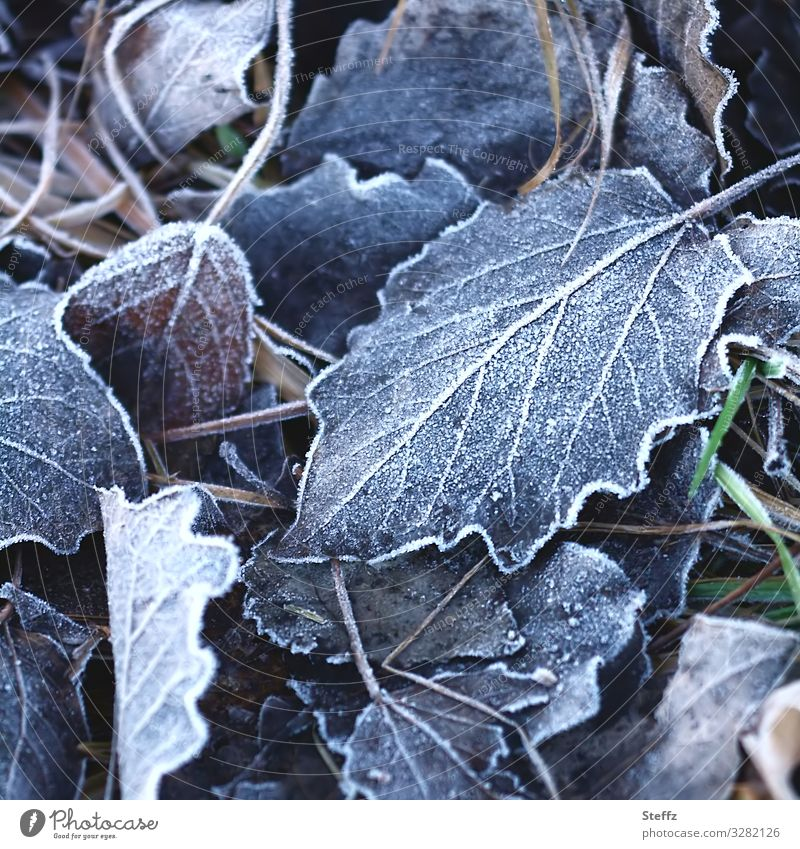 Cold stress Environment Nature Winter Climate Weather Ice Frost Plant Leaf Germany Europe Freeze Beautiful Winter mood frosty Hoar frost Slate blue Frozen Blur