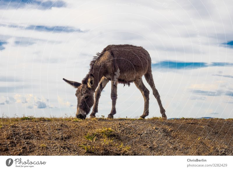 frugal donkey Far-off places Freedom Nature Landscape Earth Sky Clouds Field hillock Farm animal Donkey 1 Animal Observe To feed Cool (slang) Contentment Serene