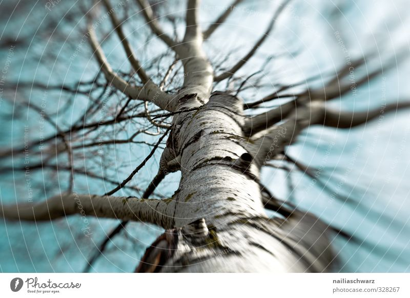 birch Environment Nature Plant Air Tree Birch tree Branch Twigs and branches Park Forest Growth Simple Beautiful Cold Natural Positive Wild Joy Spring fever