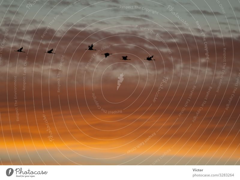Common cranes (Grus grus) in flight at dawn. Bello. Teruel. Aragón. Spain. Nature Animal Sky Clouds Bird Flying Natural Wild Gold Colour animals aragon avian